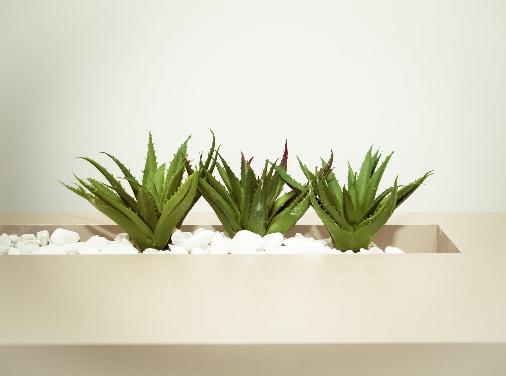 aloe vera plante verte intérieure
