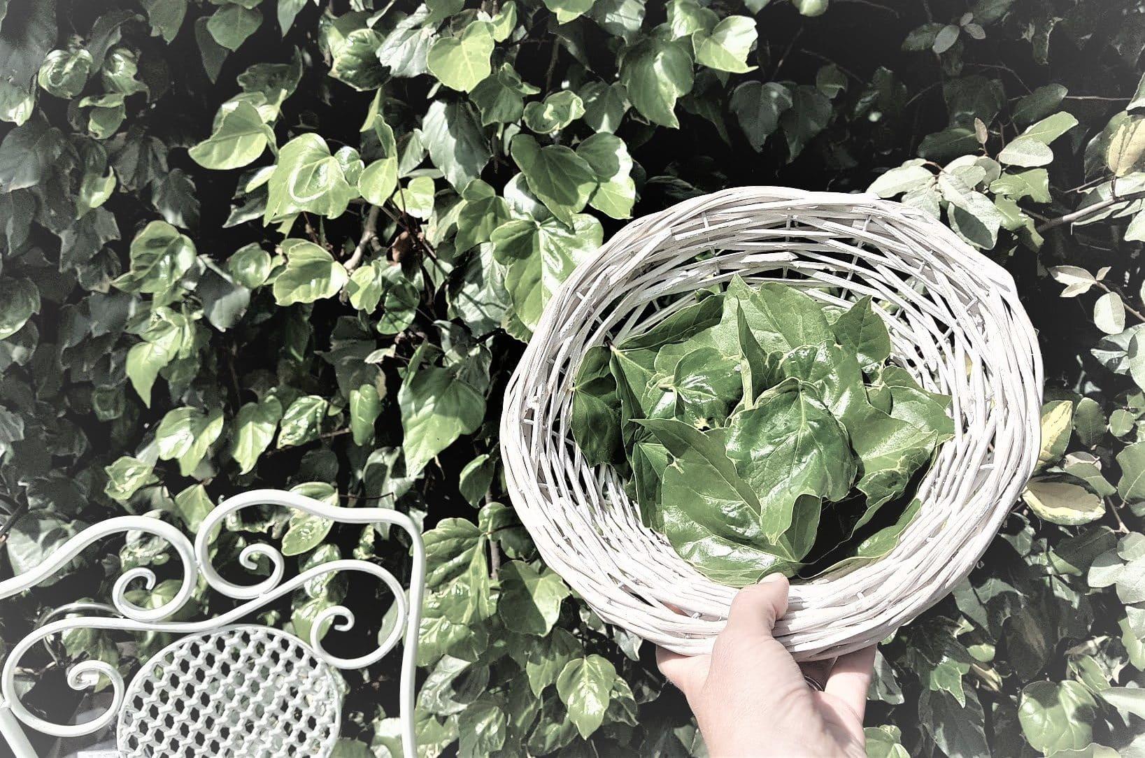 lessive au lierre recette feuilles jardin