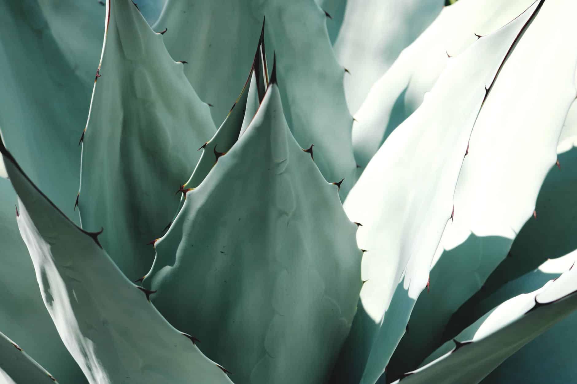 aloe vera plante verte bienfaits