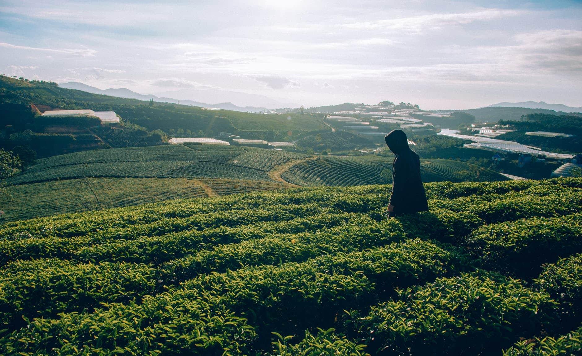 thé de Chine récolte Inde