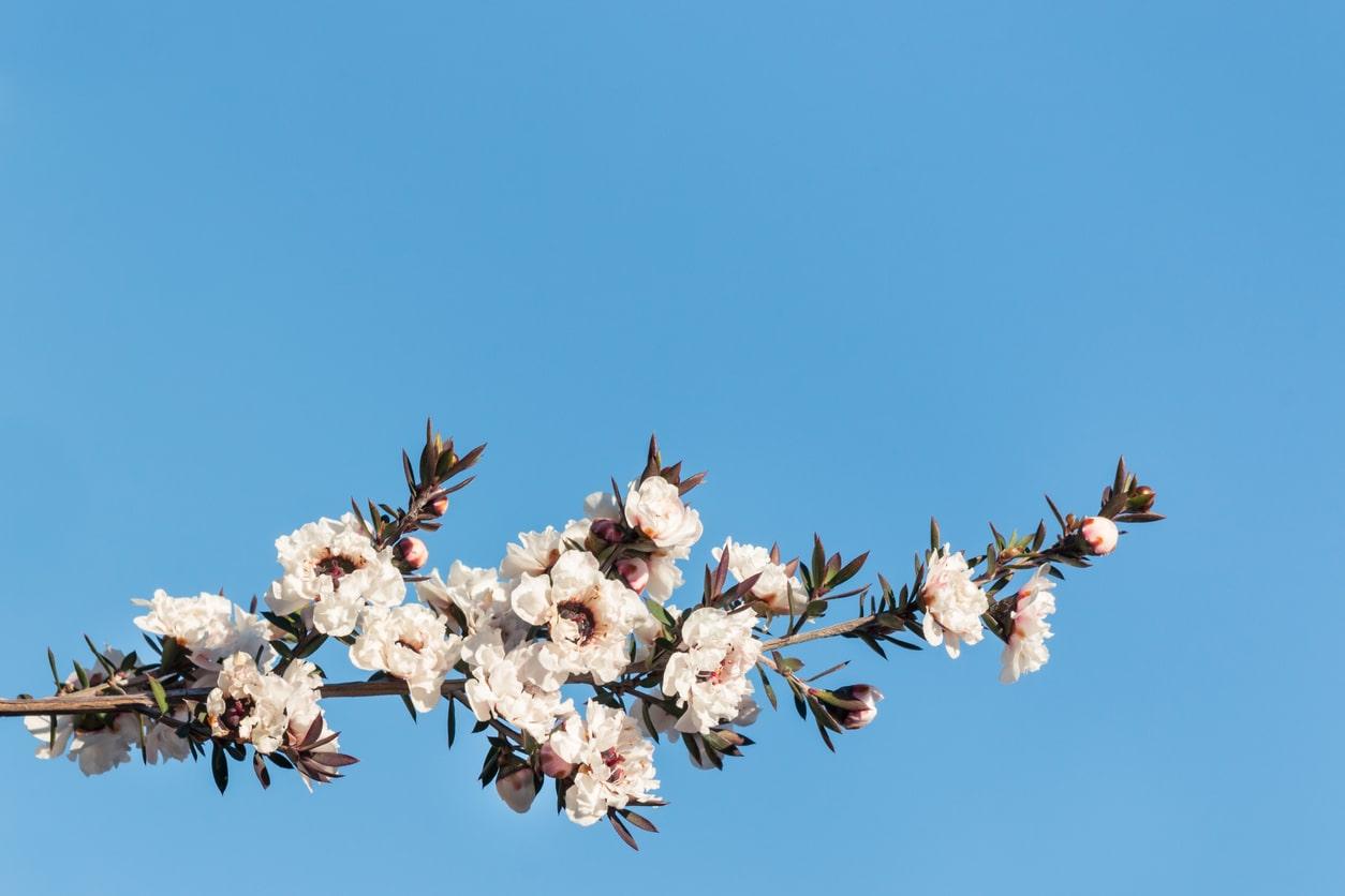 arbre à thé fleurs blanches tea tree