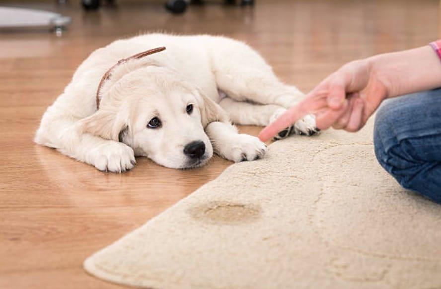 tapis pipi chien recette anti odeurs animaux de compagnie