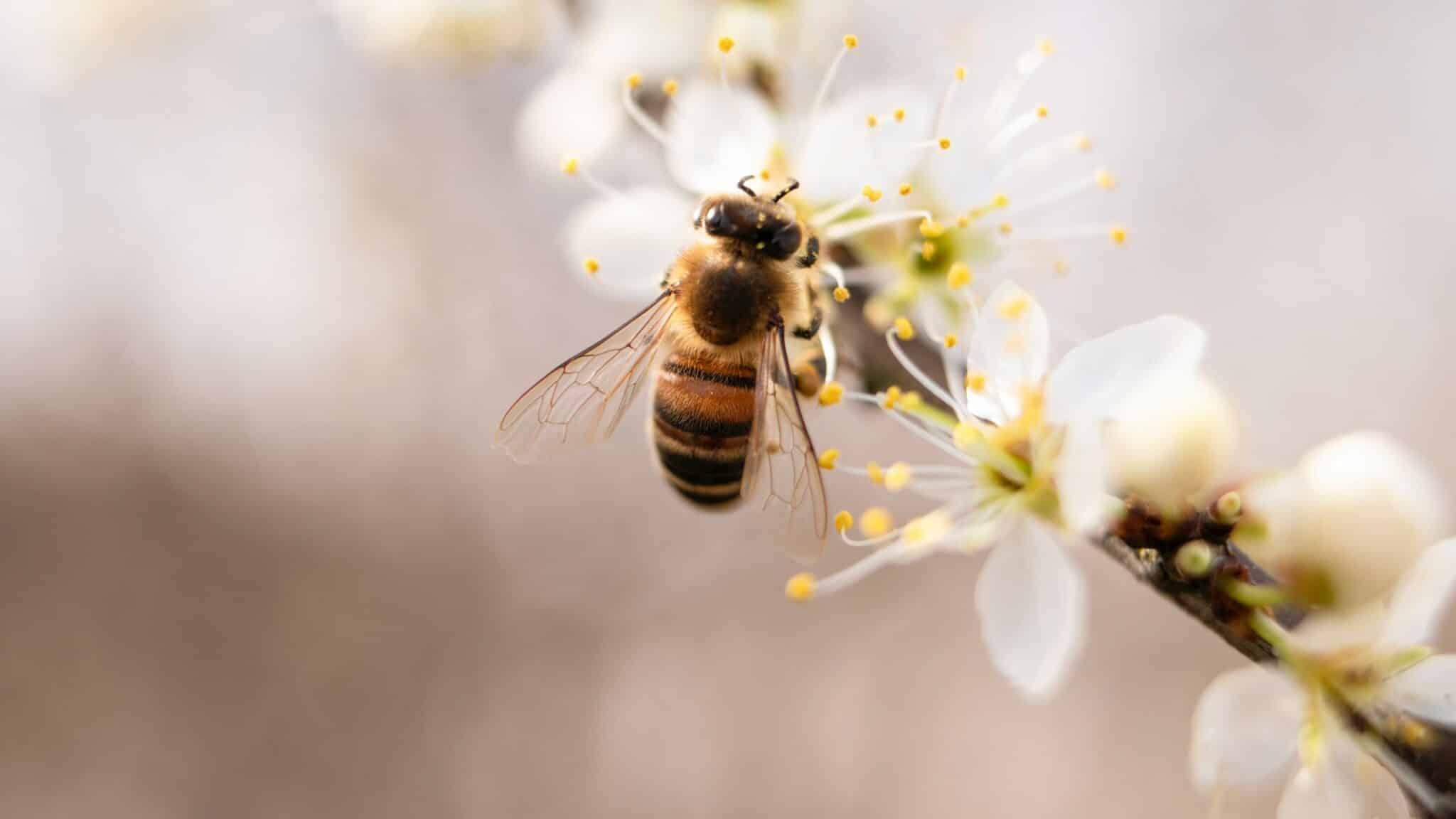abeille, miel