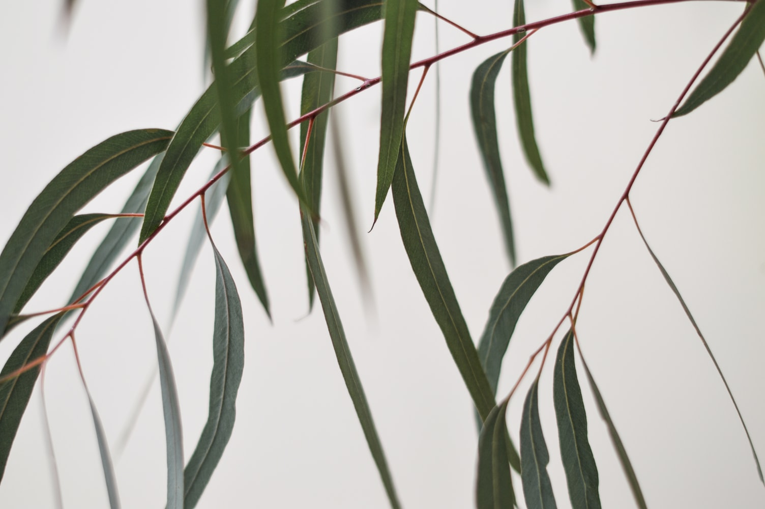 eucalyptus branches tiges plantes comestibles