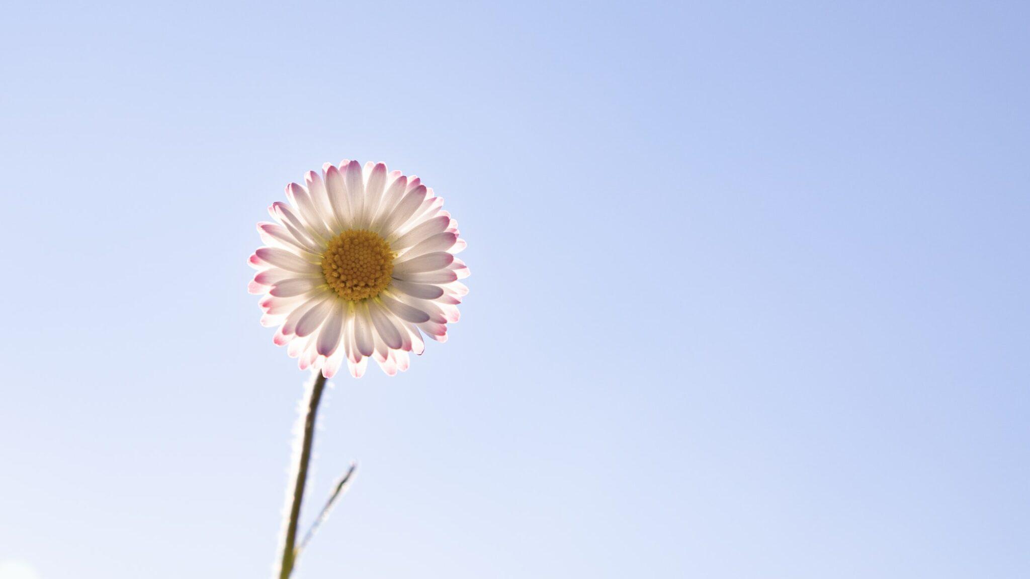 pâquerette fleur plantes comestibles