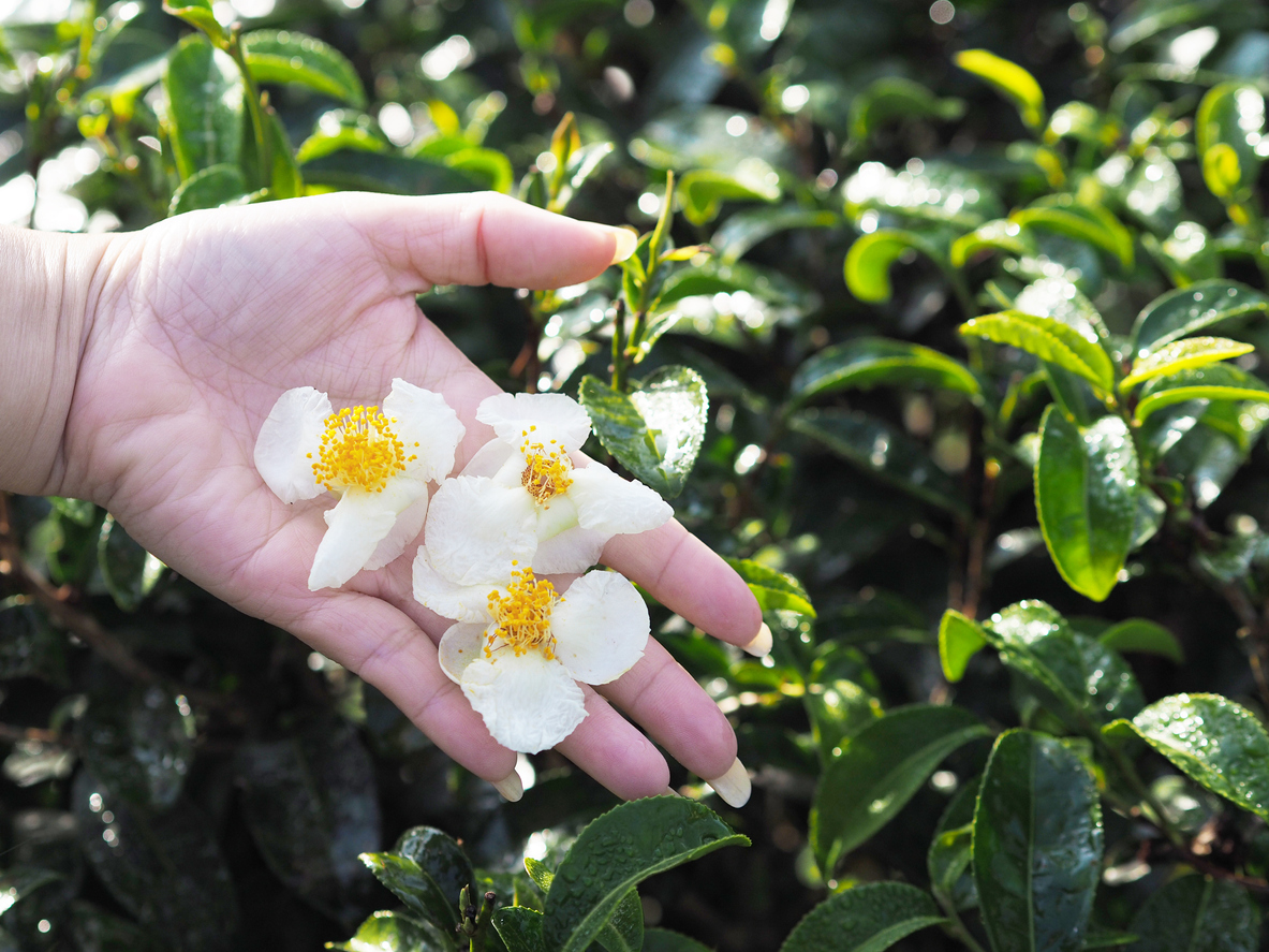 theier fleurs de the et main