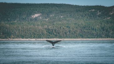 Baleine dans l'océan baleines confinement