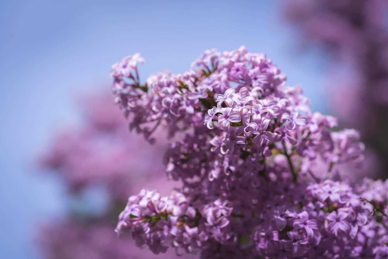 lilas fleurs papillons plantes
