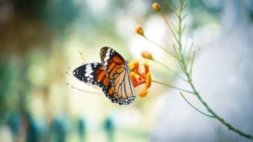 papillon butine plante fleurs