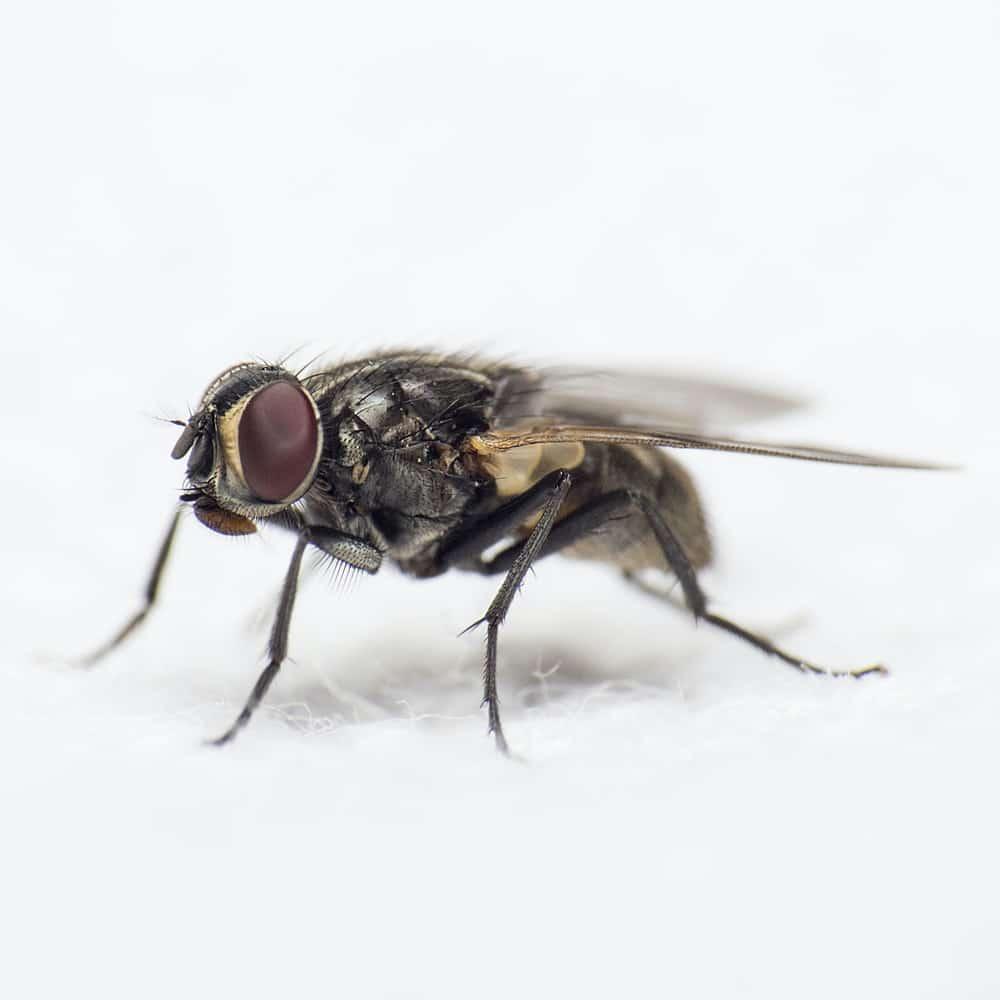 chasser les mouches de sa maison astuces naturelles mouche