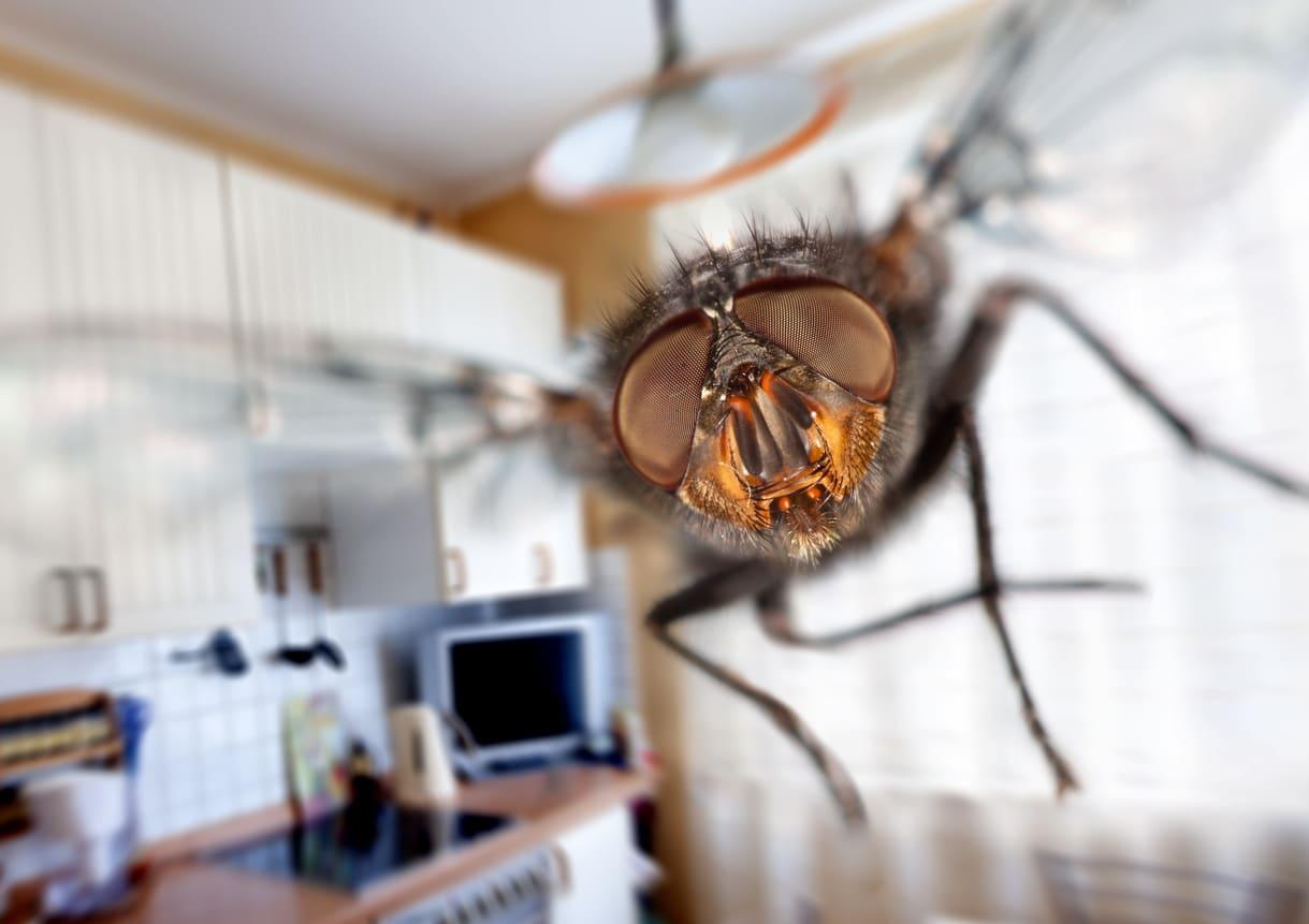 mouche domestique chasser mouches naturellement astuces cuisine