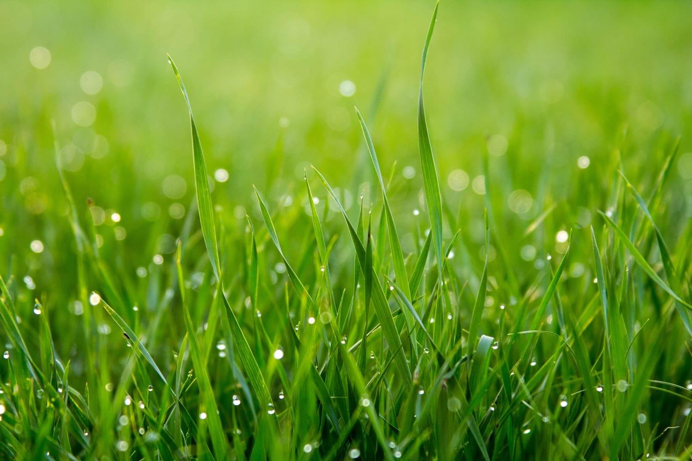 pelouse herbe gazon
