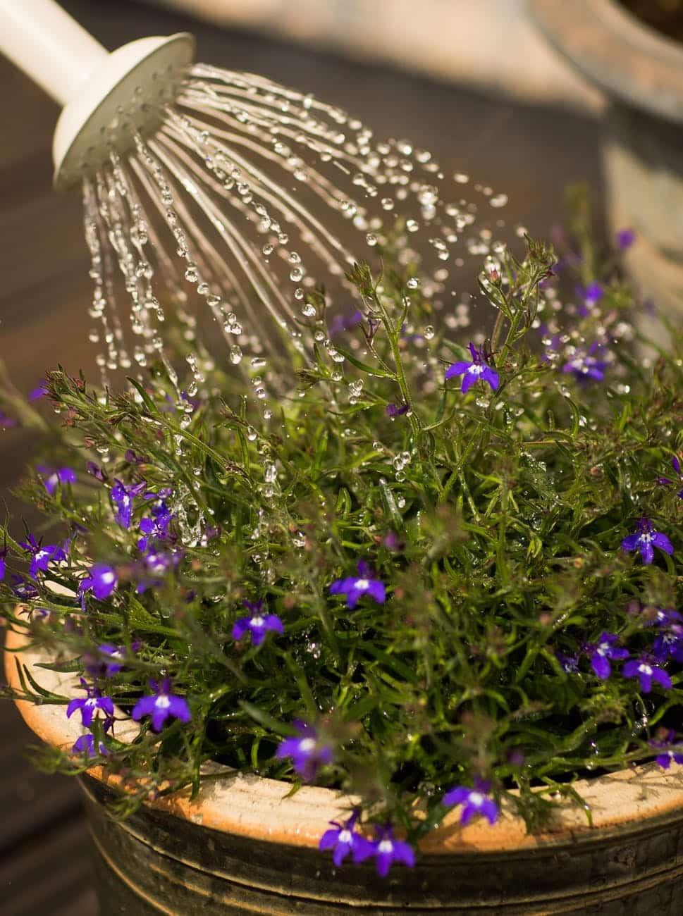 arroser fleurs arrosoir protéger plantes chaleur soleil