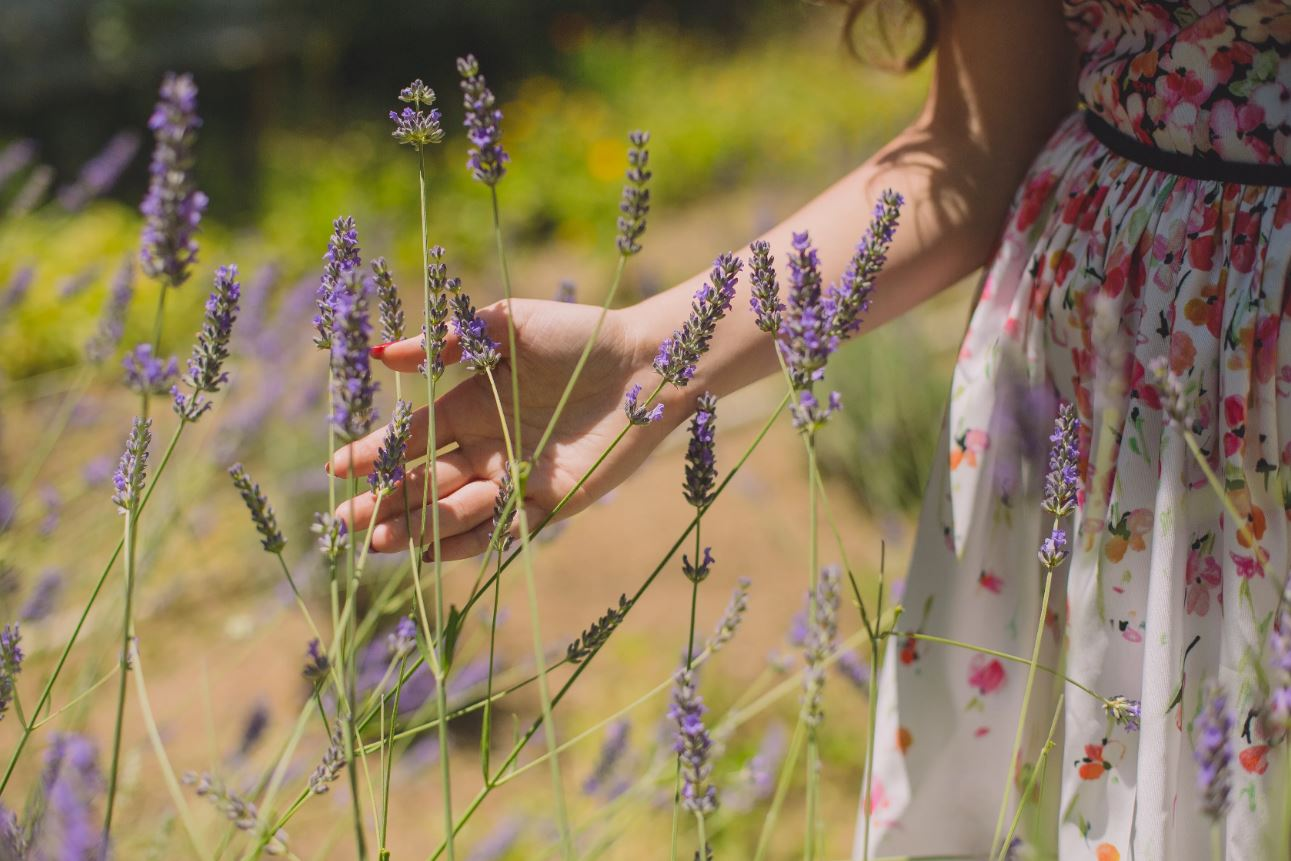 champs de lavande fleurs mains jardin contre moustiques