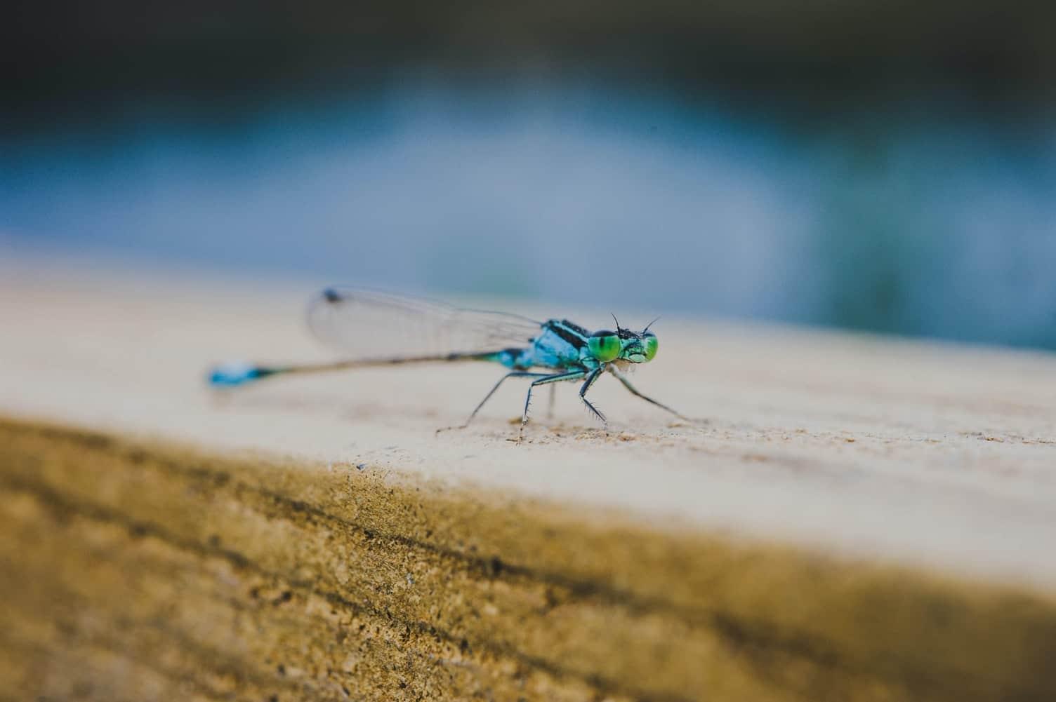 libellule contre les moustiques au jardin