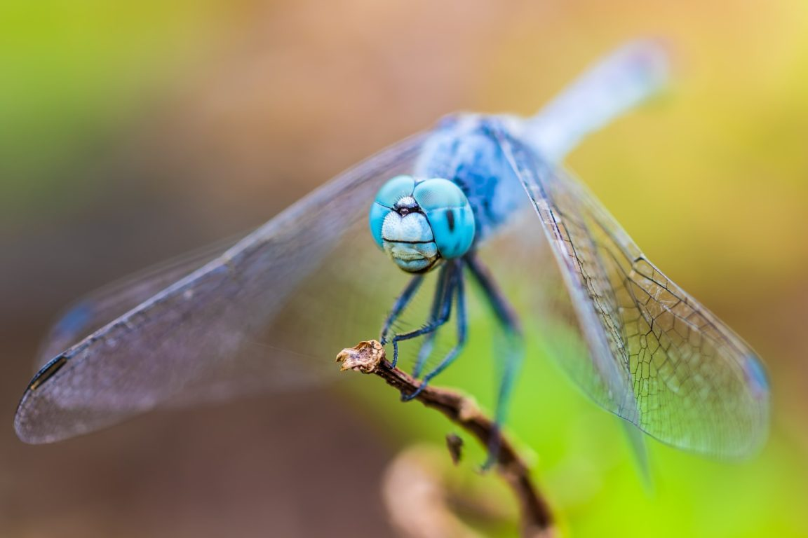 libellule jardin nature anti moustiques naturel