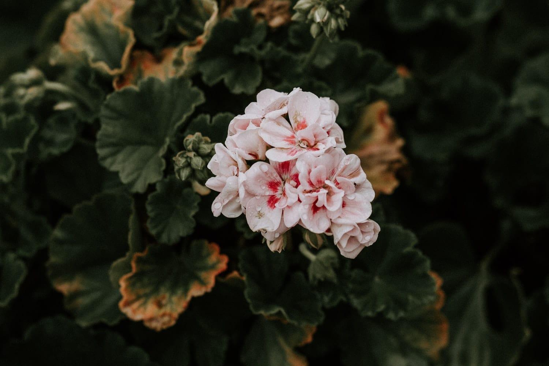 plantes anti moustiques géranium fleur