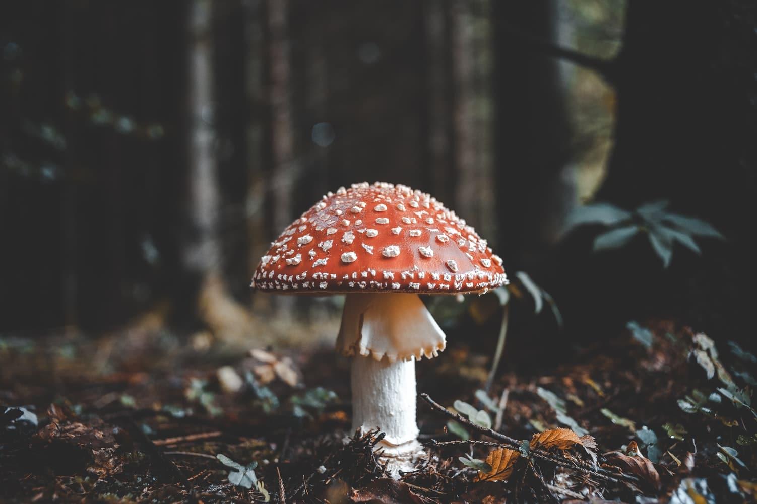 champignon vénéneux amanite toxique foret