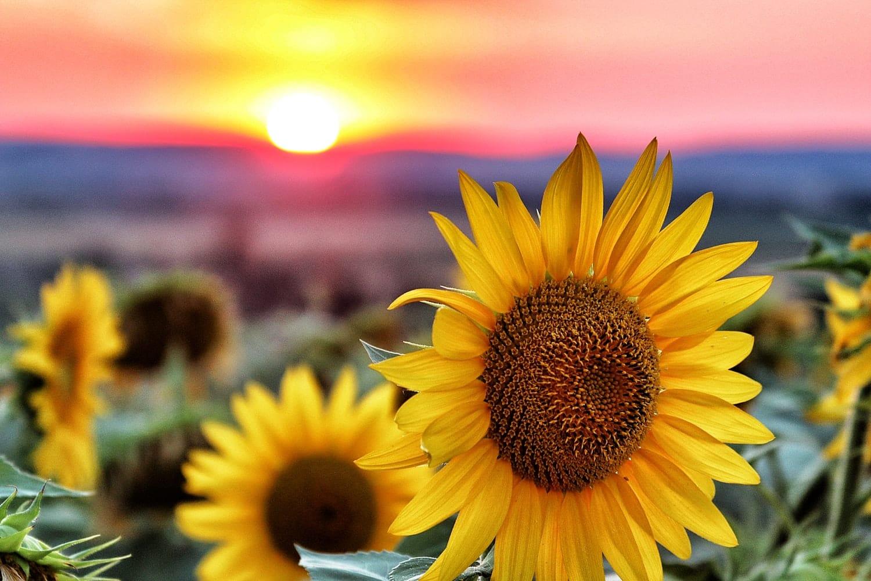 huile de tournesol fleur tournesols champs
