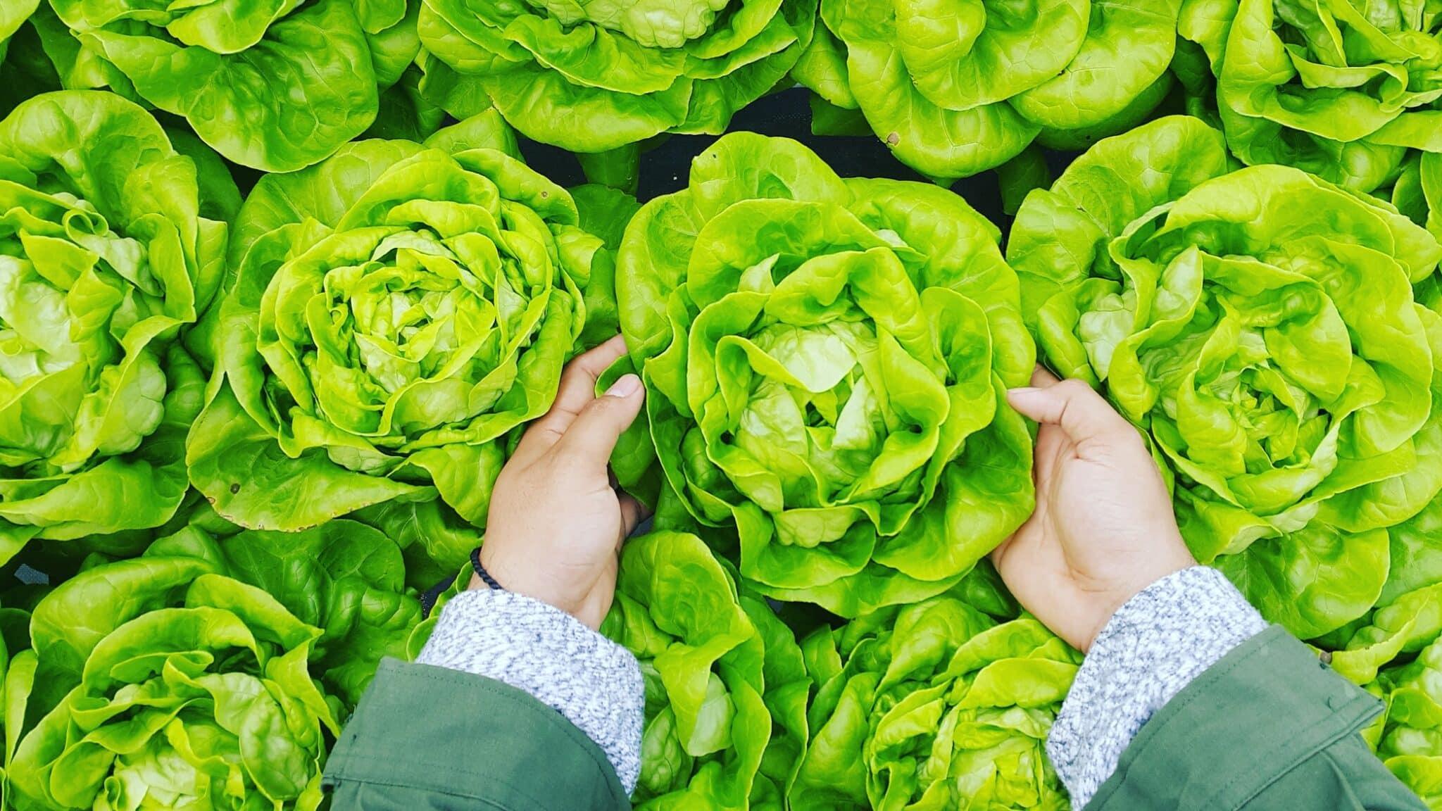 laitue feuille de salade potager cultiver fruits et légumes pesticides
