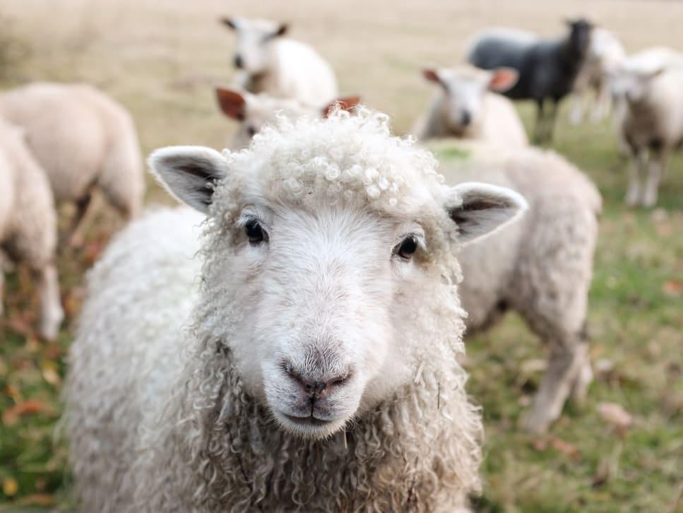 mouton brebis laine pull recycle Français