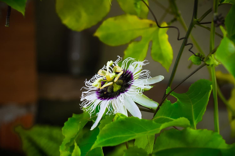 passiflore fleur remède naturel nature