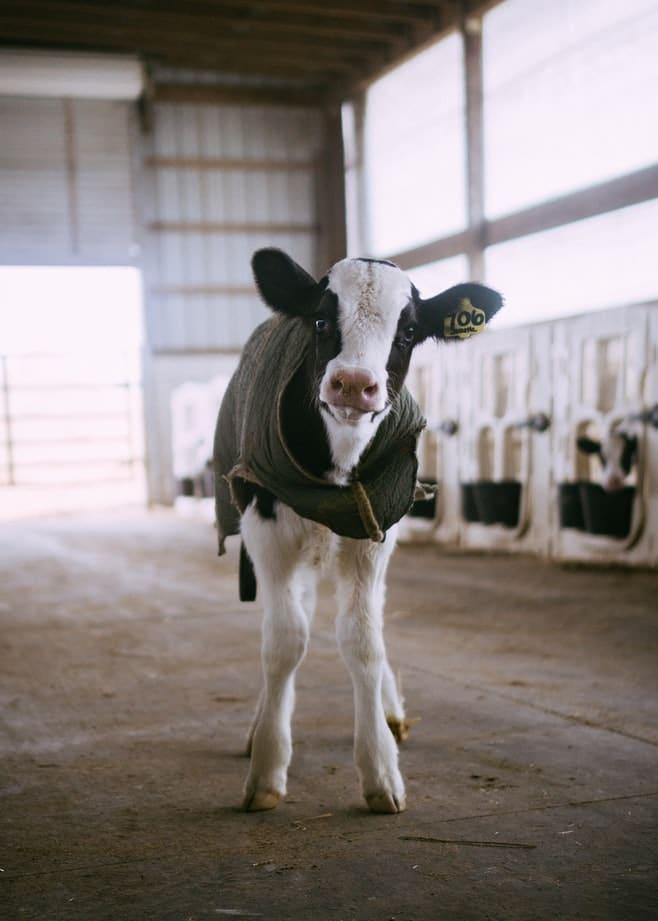 vache veau journée mondiale du véganisme