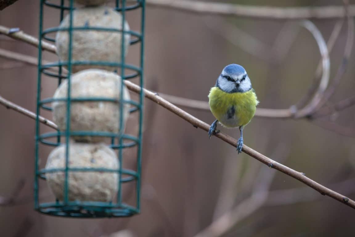 boules de graisse maison DIY oiseau mangeoire