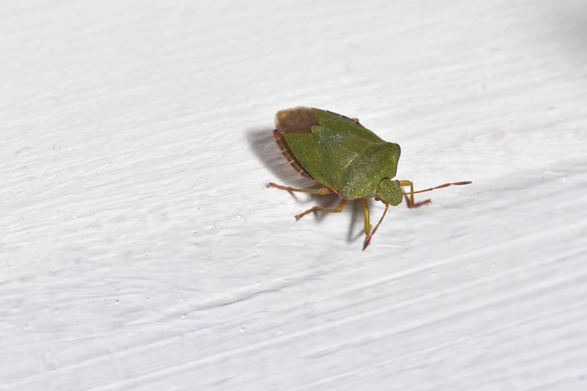 punaise verte punaises diaboliques pins astuces chasser éloigner insectes