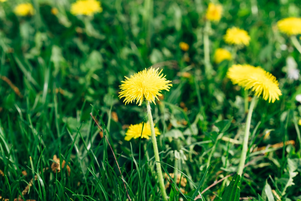 fleurs de pissenlit herbe plante
