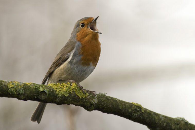reconnaître chant des oiseaux oiseau bec ouvert