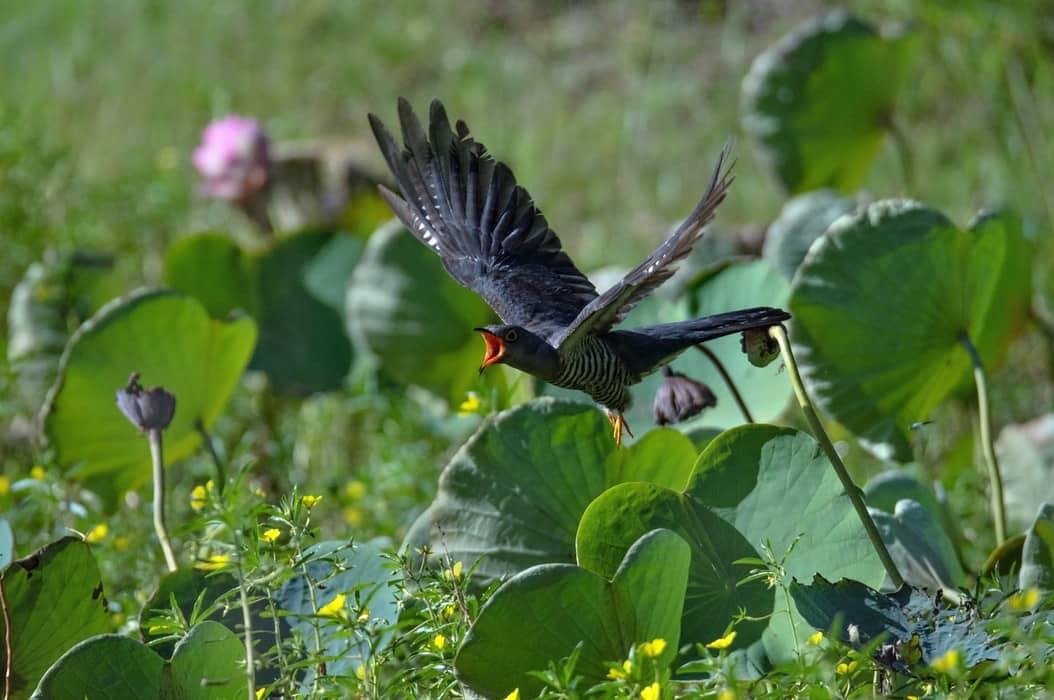 coucou oriental vol cri chant oiseaux