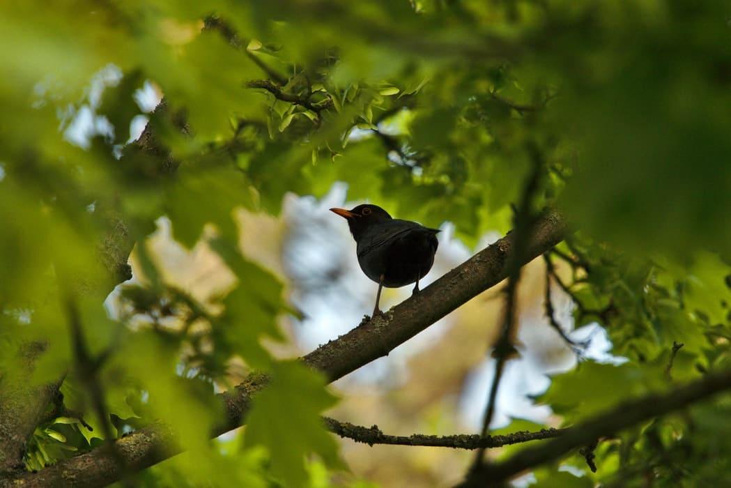 merle noir chant oiseau arbre