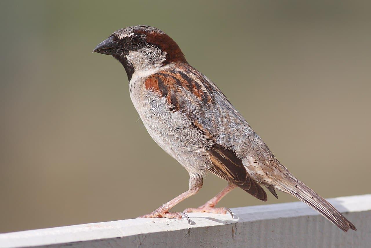 moineau domestique chant reconnaître oiseaux