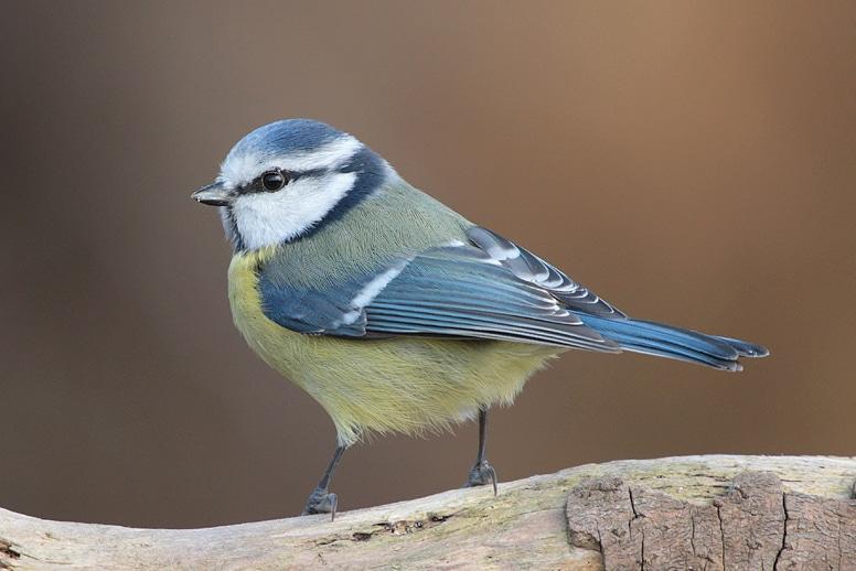 oiseau mésange bleue son