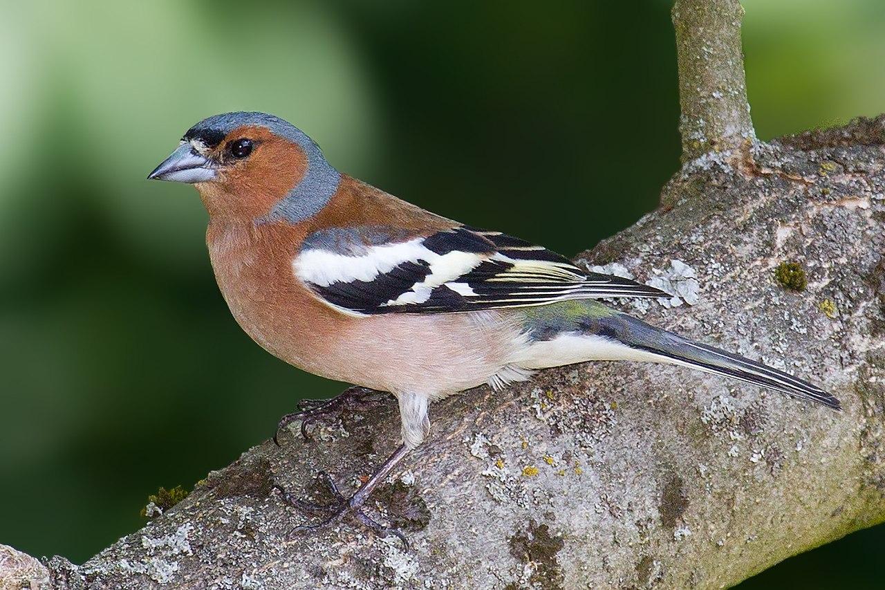 pinson des arbres oiseau chants