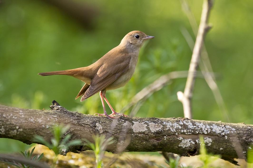 rossignol philomène chant oiseau