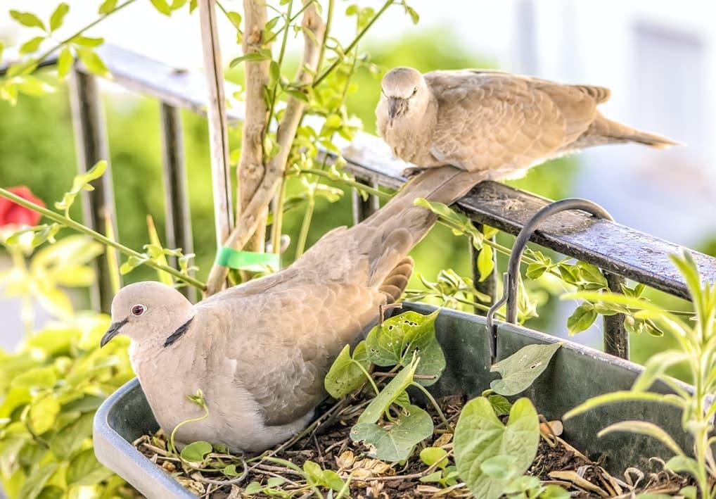 tourterelles oiseaux