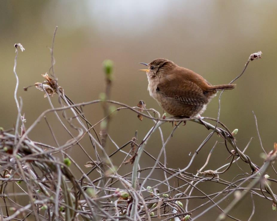 troglodyte mignon oiseau chant branche