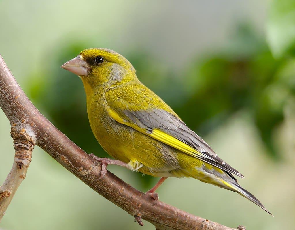 chants oiseaux verdier Europe oiseau chant