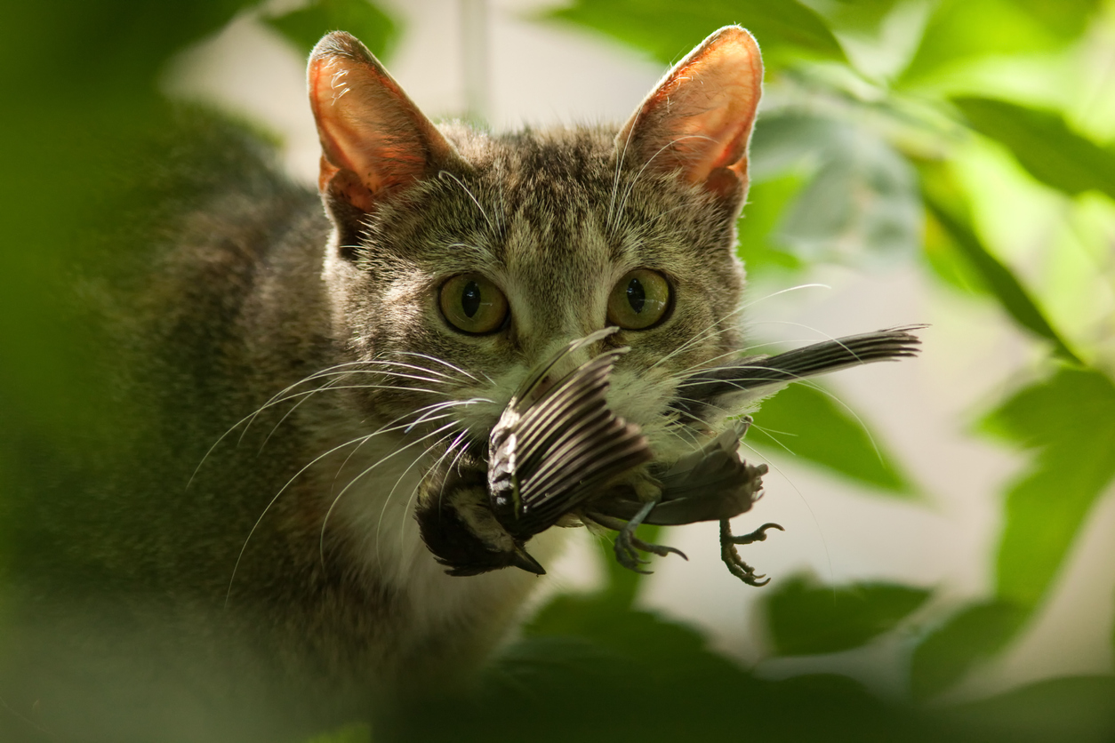 chat oiseau chasse prédateur préserver biodiversité
