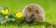 hérisson animal herbe fleurs biodiversité flore