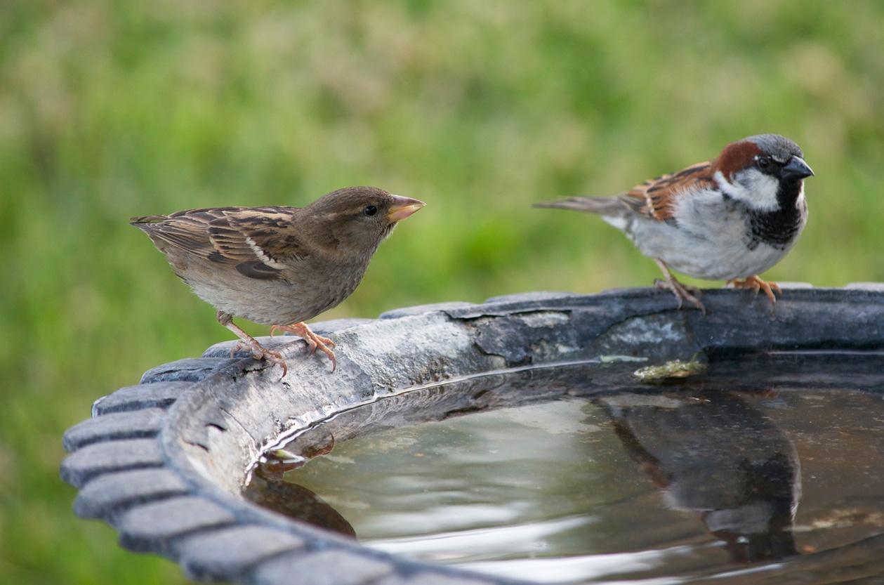 oiseaux couple boire eau nager laver jardin animaux