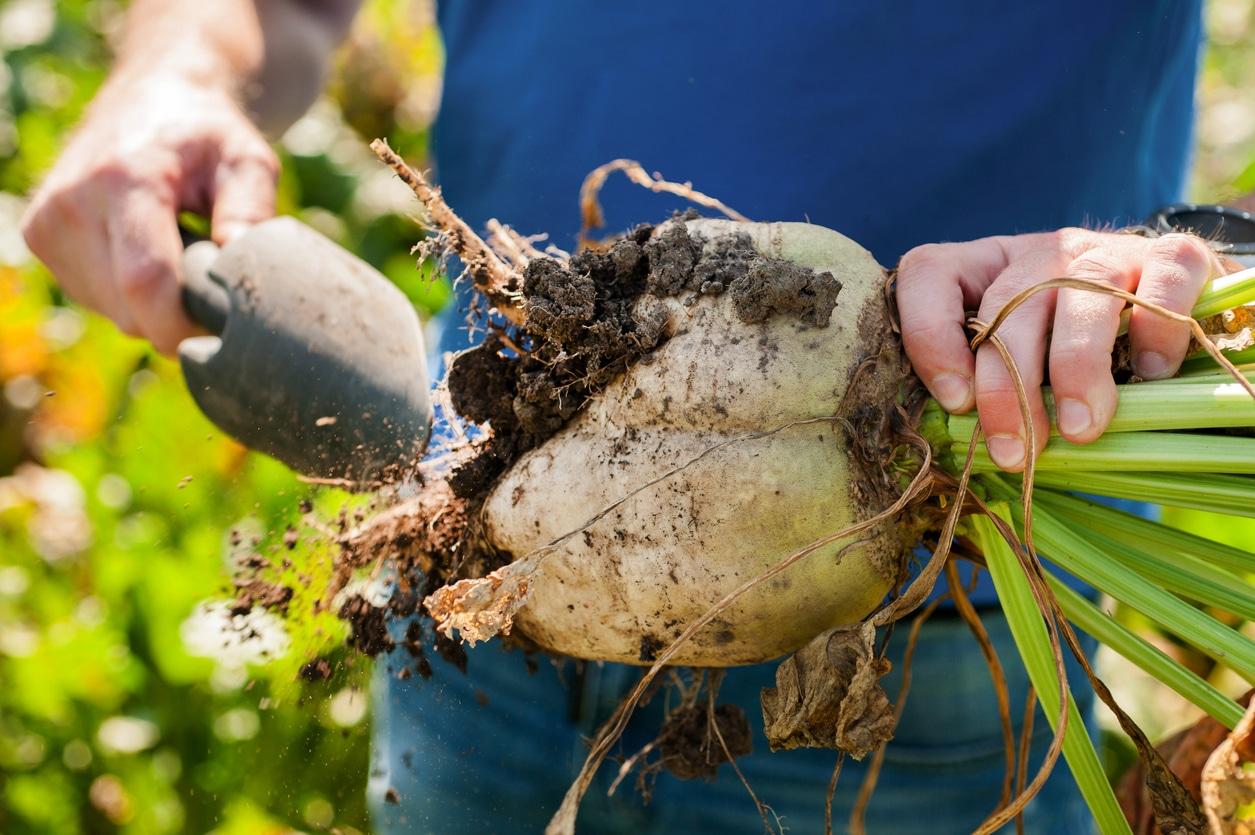 culture de betterave sucrière plante