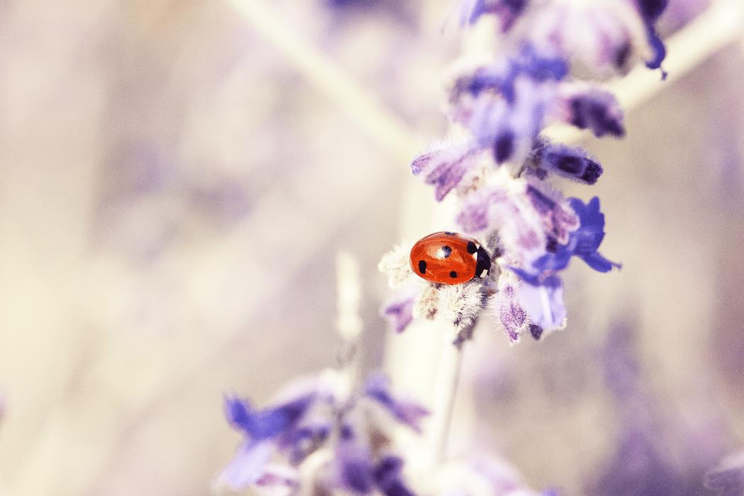 coccinelle fleur lavande jardin nature