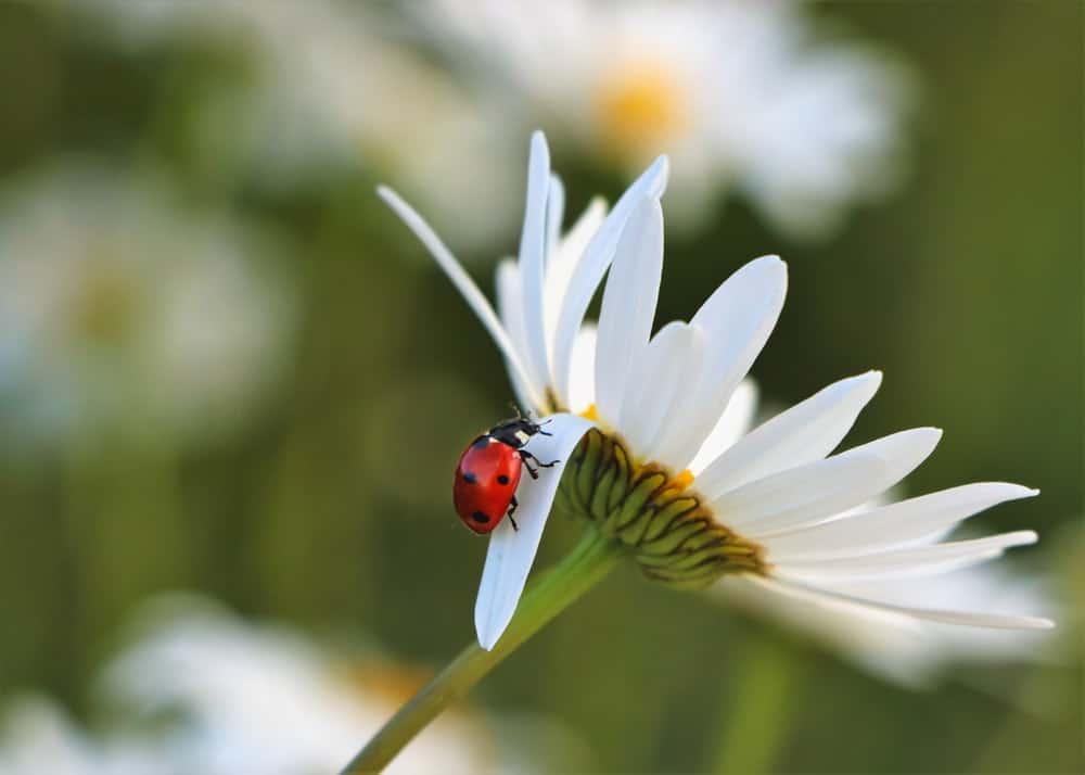 coccinelle jardin fleur nature