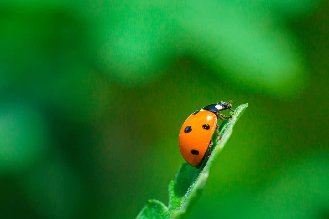 insecte coccinelle feuille plante jardin nature