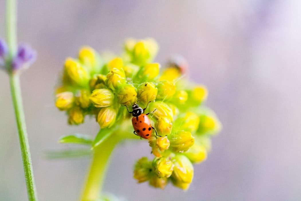 insecte plante fleur attirer les coccinelles jardin