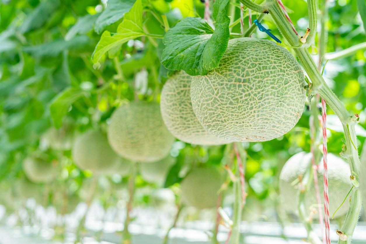 plants de melons frais culture fruit cucurbitacées