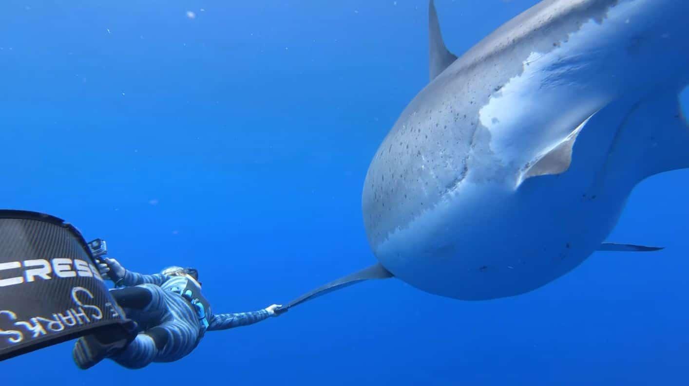 requin blanc Ocean Ramsey plonge nage mer